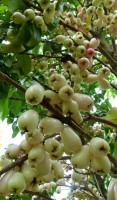 Wax Jambu White Variety Tree