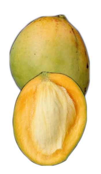 Mango Tree Fairchild Semi-Dwarf Variety Grafted The Fairchild mango is known for it's fiberless firm flesh and considered to be an excellent eating quality mango. This variety is small, pale yellow, juicy and aromatic. With little effort the tree can be maintained at a height of ten feet and grown in a container. It is considered to be a wonderful condo mango. The fruit ripens June to July.