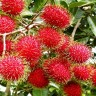 Rambutan Tree - Rambutan Fruit Tree