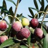Olive Tree Arbequina Variety - Arbequina Olive