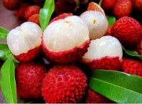Lychee Tree Emperor Dwarf Variety Air-Layered