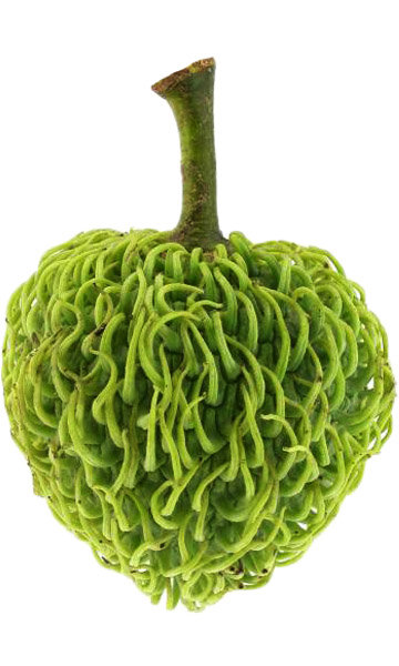 Annona Spraguei This Ultra-rare Annona native to rainforests of Panama and Columbia. 