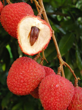 Lychee Tree HakIp Variety Air-Layered 