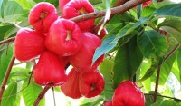 Wax Jambu Red Variety Tree