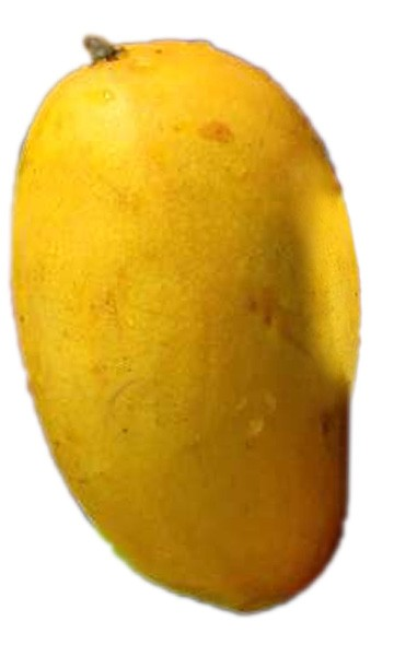 Mango Tree Lemon Zest Variety Grafted If you like lemons then you will love the Lemon Zest Mango. This mango with a hint of citrus flavor has a beautiful skin color of pale yellow to orange with the flesh being creamy and fiber less