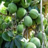 White Sapote Tree - White Sapote Fruit
