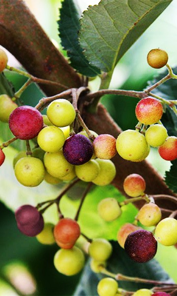 Phalsa Tree The Phalsa tree is native to Southern Asia from Eastern Pakistan, Cambodia and other tropical countries. The fruit is small dark blue berry size and almost black when ripe. The flavor is sweet when eaten ripe.