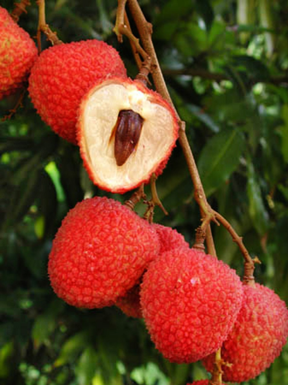 how to make lychee grow faster
