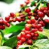 Coffee Tree - coffee fruit