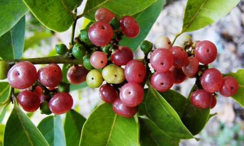 Gin Berry Tree The Gin berry Fruit is small translucent pink fruit with juicy flesh with a hint of spicy gin flavor!