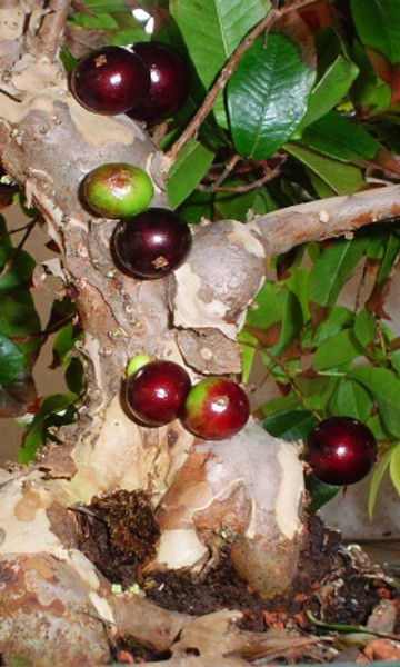 Red Jaboticaba Tree The Red Jaboticaba all the way from Brazil in a 3 gallon container. Mirrors the flavor of the purple Jaboticaba the tree's are similar but a lot of people say that the red is a lot sweet and less tart than the purple fruit when ripe.