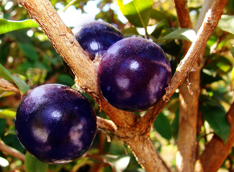 Blue Jaboticaba Tree