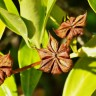 Star Anise Tree - Star Anise Tree