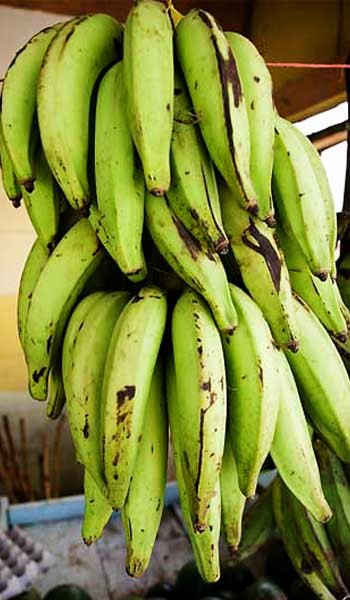 Banana Plant Plantain Variety Banana Plantain Variety in a 3 Gallon Container. Used in cooking, very versatile. Can be used to make Plantain Chips which are a healthier alternative to potatoe chips. Great plant for decoration add tropical look to any garden.