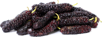 Mulberry Tree Pakistan Variety