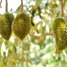 Durian Tree - Durian on the treee
