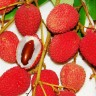 Lychee Tree Brewster Variety Air-Layered  -