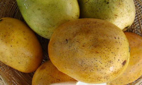Mango Tree Baptiste Hatian Variety Grafted 