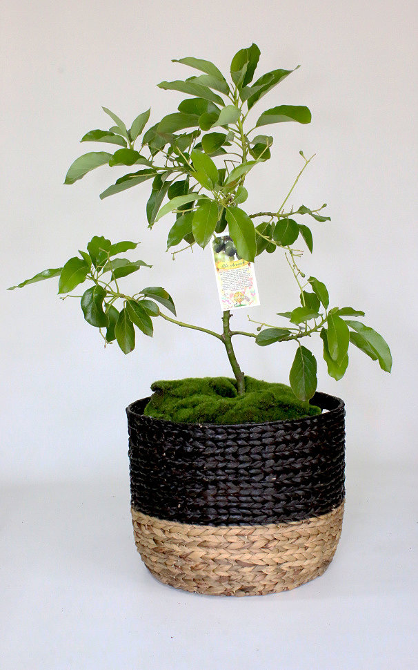 PlantOGram » Avocado: Planting & Care