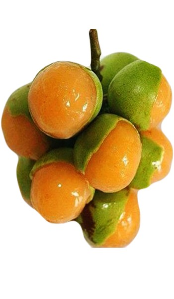 Spanish Lime Genip Mamoncillo Male Tree