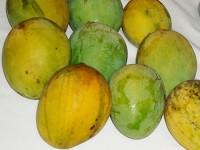 Mango Tree Carrie Semi-Dwarf Variety Grafted