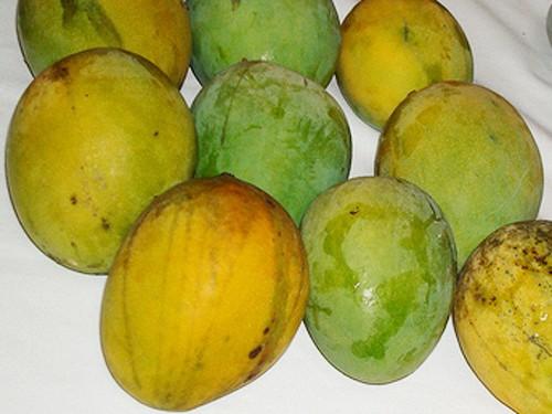 Best Mango Tree Carrie Semi-Dwarf Variety Grafted JY66