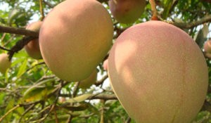 Mango Tree Son Pari Collectors Variety Grafted