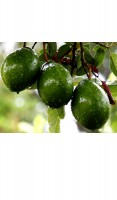 Avocado Tree Lila Cold Hardy Variety Grafted