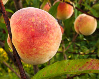 Peach Tree Grafted