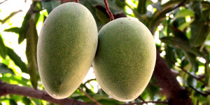 Mango Tree Alampur Baneshan Indian Collectors Variety Grafted