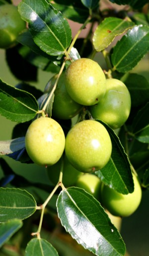 Jujube Tree Indian Green Thornless Variety Grafted