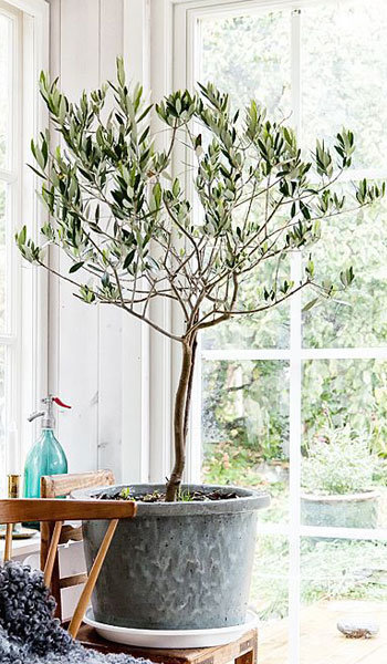 20th Anniversary Gifts For Husbands: Olive Tree Frantoio Variety