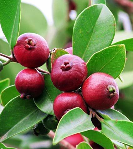 StrawberryCattley Guava Tree