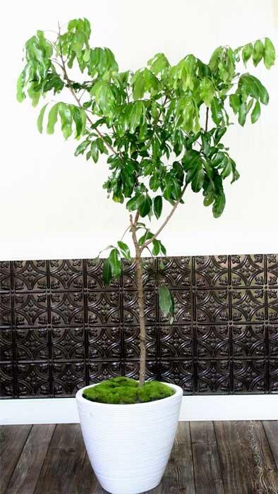 20th Anniversary Gifts For Husbands: Longan Tree Kohala Variety Air-Layered