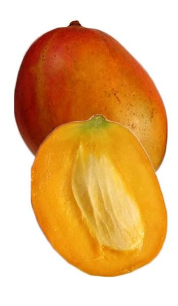 Greatest Mango Tree Julie Dwarf Varierty Grafted MK45