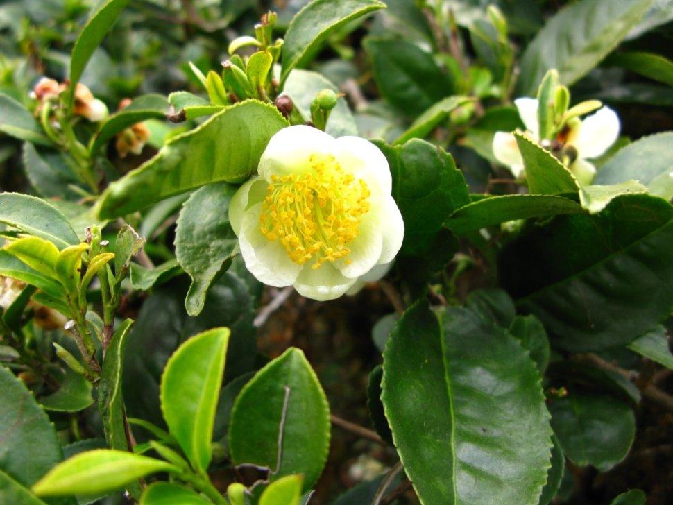 Tea Plant Large Leaf Variety