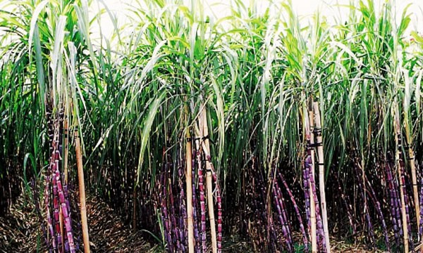 """Organic Sugar Cane Black Red 10 nodes for Planting About 2 /"""" or More Each piece"""