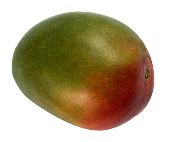Mango Tree Kent Variety Grafted