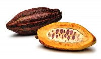 Cacao/ Chocolate Tree