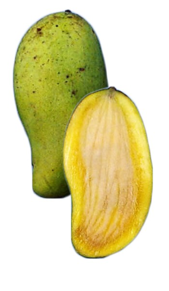 Mango Tree Okrung Variety Grafted