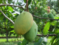 Mango Tree Coconut Creme Variety Grafted