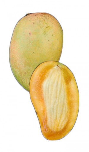 Mango Tree Philippine Variety Grafted