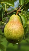 Pear Tree Pineapple Variety Grafted