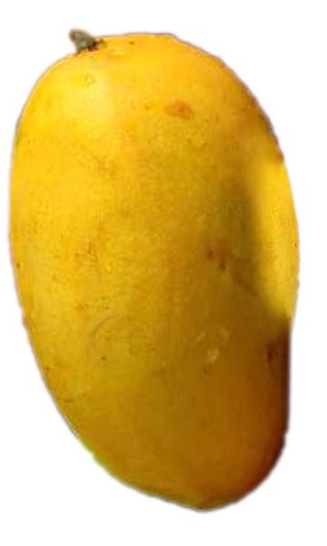 Mango Tree Lemon Zest Variety Grafted
