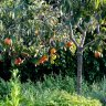 Persimmon Tree Fuyu Variety Grafted