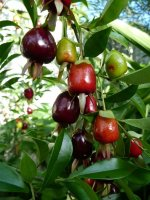 Cherry of the Rio Grande Tree