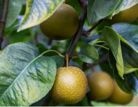 Apple Tree Dorsett Golden Variety Grafted