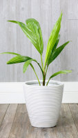 Coconut Tree Dwarf Green Variety