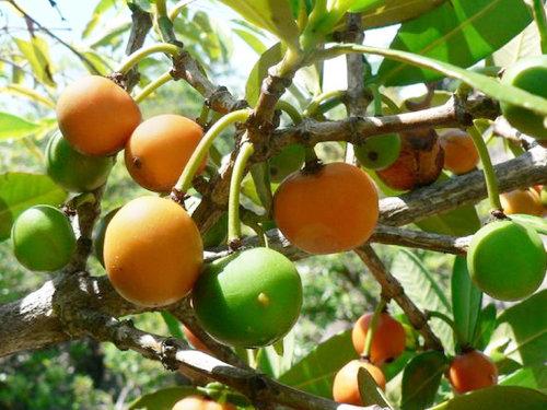 Imbe African Mangosteen