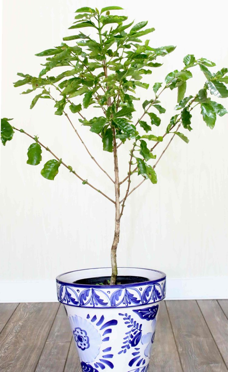 20th Anniversary Gifts For Husbands: Coffee Tree